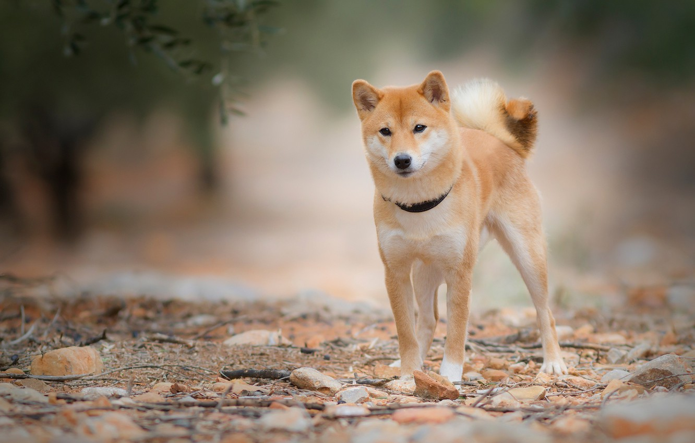 Фото обои взгляд, листья, природа, камни, собака, ветка, рыжий, ошейник, молодой, пёсик, сиба-ину