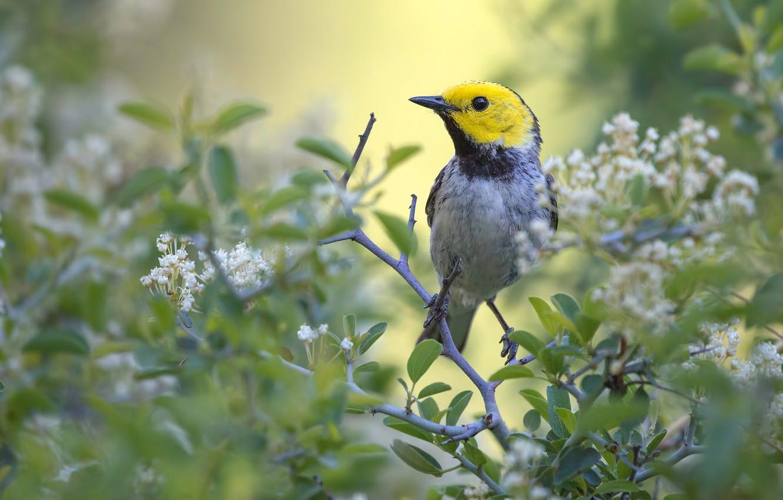 Фото обои листья, цветы, ветки, птица, размытие, весна, белые, цветение, боке, желтоголовая