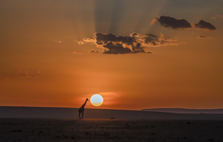 Фото обои облака, лучи, Солнце, жираф, саванна, clouds, rays, sun, giraffe, savannah, hong chen