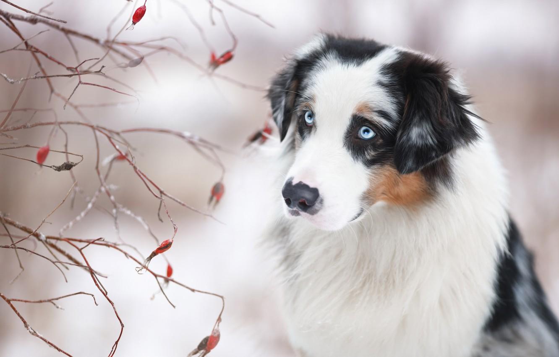 Фото обои взгляд, морда, ветки, портрет, собака, Австралийская овчарка, Аусси, Наталия Поникарова