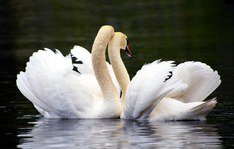 Для открытки, картинки лебединая верность влюбленные обнимаются