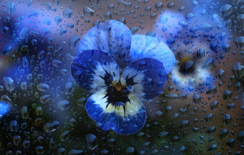 Фото обои стекло, вода, капли, макро, цветы, голубые, анютины глазки, капли воды, фиалки, виолы