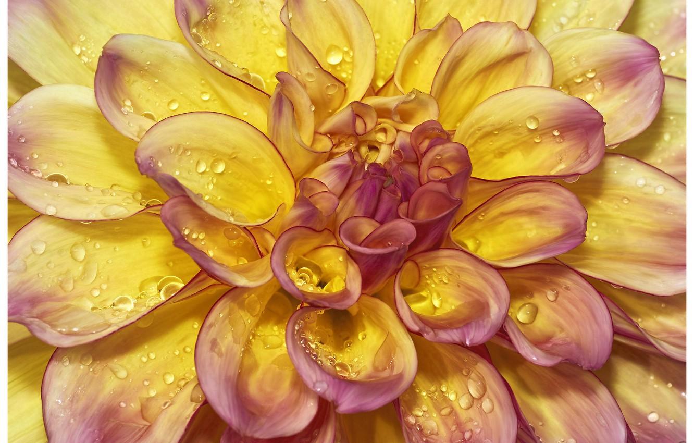 Фото обои цветок, лепестки, георгина