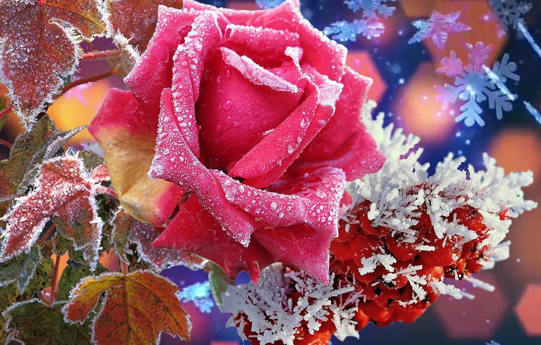 Фото обои природа, Зима, красота, Роза, супер. цветы