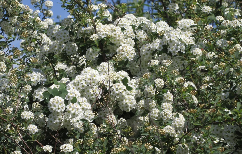 Фото обои цветы, куст, белые цветы, весна 2018, Mamala ©