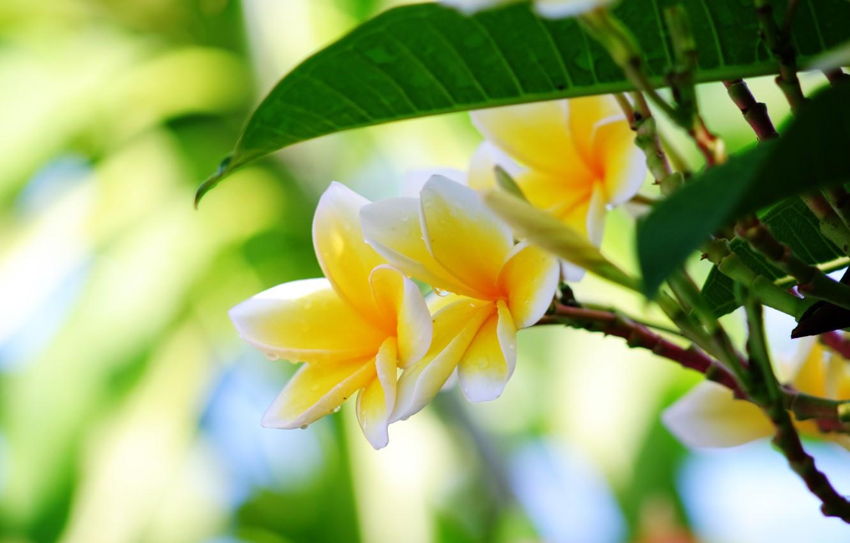 Фото обои листья, капли, макро, Плюмерия