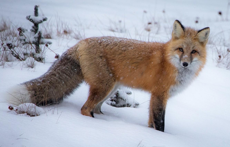Фото обои зима, снег, лиса, сугробы, прогулка