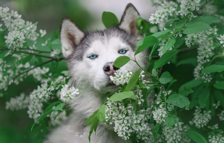 Фото обои морда, ветки, природа, животное, собака, цветение, хаски, пёс, черёмуха