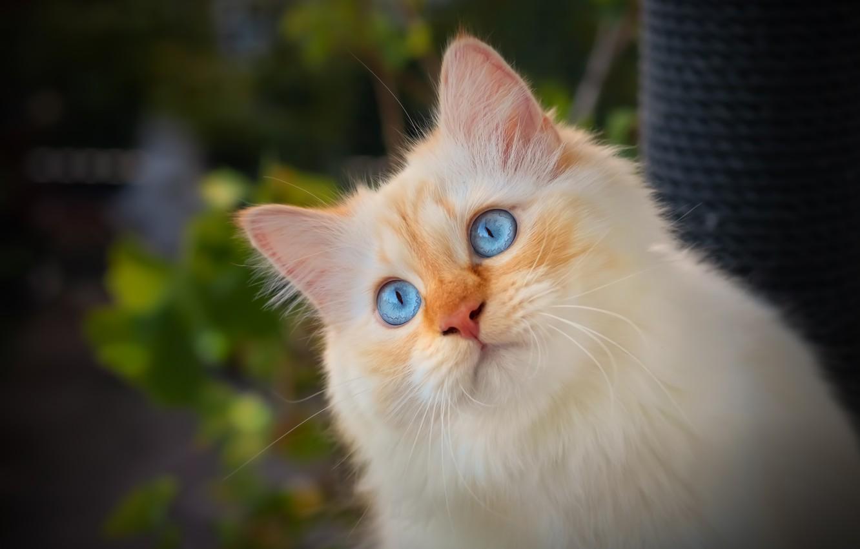 Фото обои кошка, взгляд, портрет, мордочка, голубые глаза, котёйка