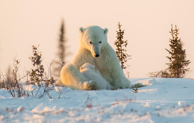 Фото обои зима, снег, медвежонок, детёныш, медведица, Белые медведи, Полярные медведи