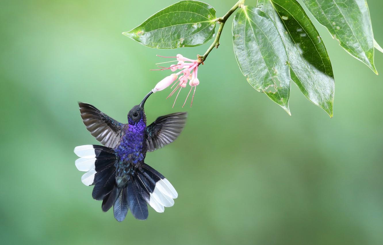 Фото обои цветок, листья, фон, птица, ветка, перья, Колибри, Пурпурный саблекрыл