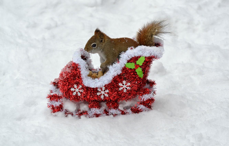 Фото обои зима, животные, снег, новый год, белка, орехи, new year, сани, animals, winter, background, snow, animal, …