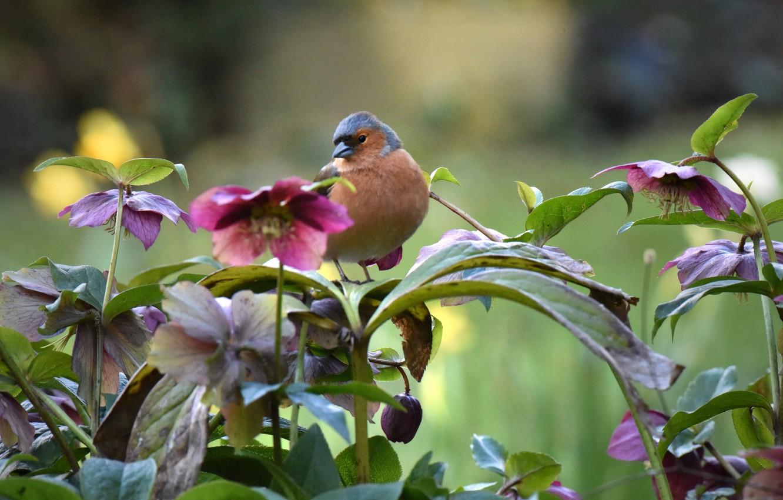 Фото обои цветы, природа, птица, морозник, зяблик