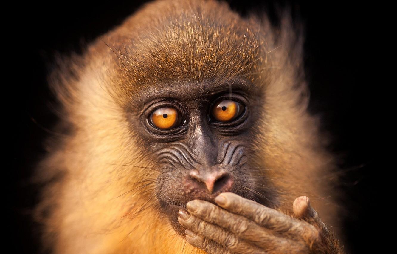 Фото обои monkey, eyes, face, cute, wildlife, mammal, close up