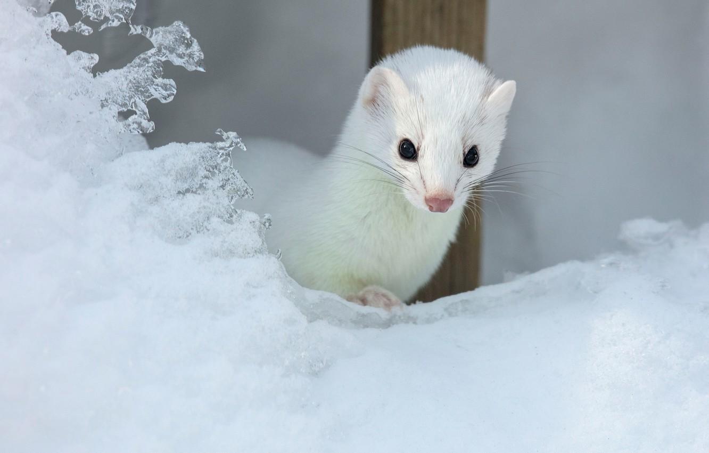 Фото обои зима, белый, взгляд, снег, мордочка, зверек, ласка, сугроб, наст