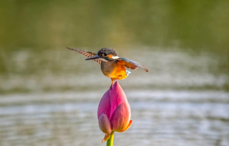 Фото обои цветок, вода, природа, птица, крылья, бутон, лотос, зимородок