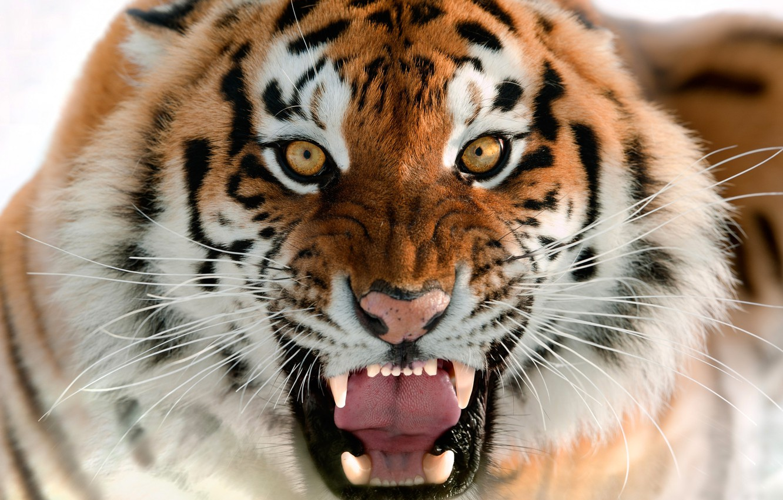 Обои Кошка, tigr, зверь. Кошки foto 13