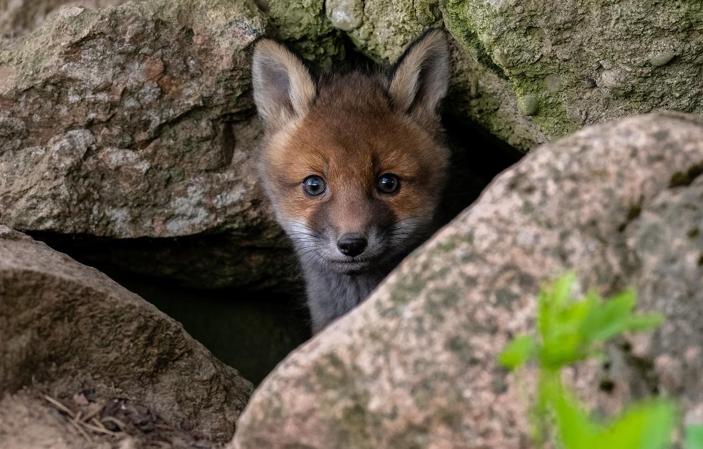 Фото обои природа, камни, животное, мордочка, детёныш, лисёнок