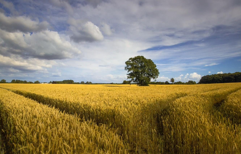 Фото обои поле, небо, дерево