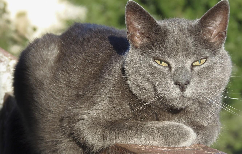 Фото обои кот, серый кот, кот на балконе, взрослый кот