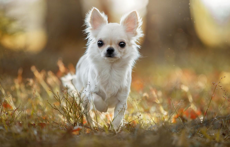 Фото обои трава, свет, пёсик, Чихуахуа, собачонка