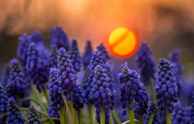 Фото обои закат, цветы, природа, мускари
