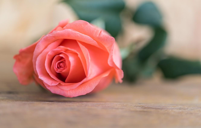 Фото обои цветок, розы, бутон, rose, flower, wood, pink, romantic, розовая роза, bud