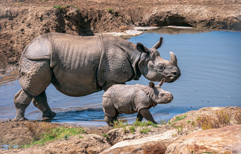 Обои носороги. Животные foto 18