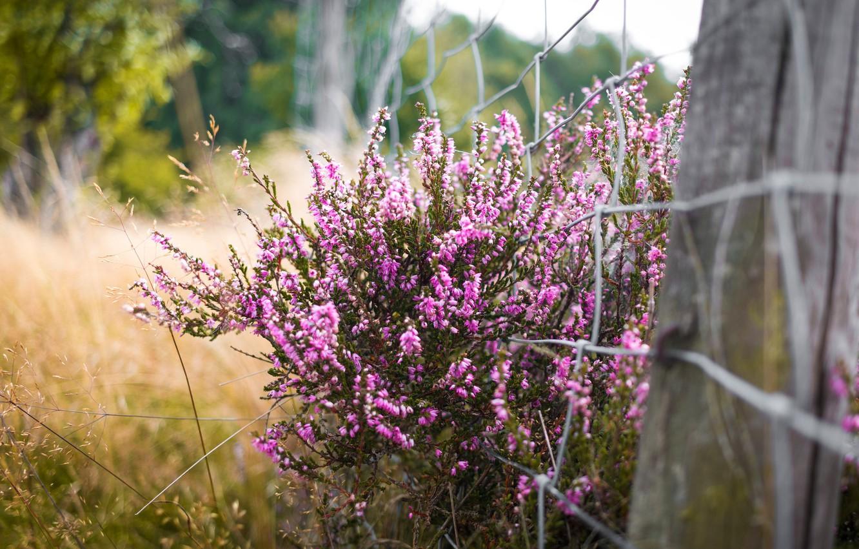 Фото обои цветы, природа, куст, розовые, вереск