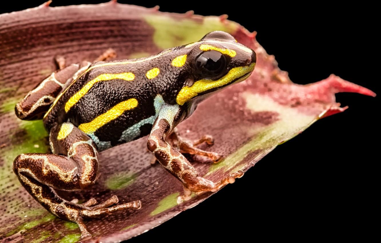 Фото обои toxic, black, yellow, frog, leaf