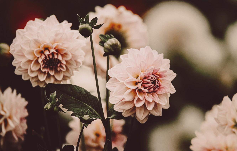 Фото обои цветы, розовый, размытость, георгины