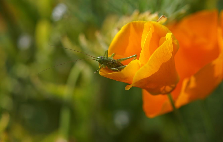 Фото обои зелень, лето, макро, цветы, зеленый, фон, насекомое, кузнечик, оранжевые, боке, эшшольция