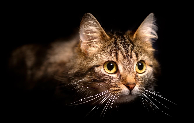 Фото обои кошка, кот, взгляд, портрет, черный фон