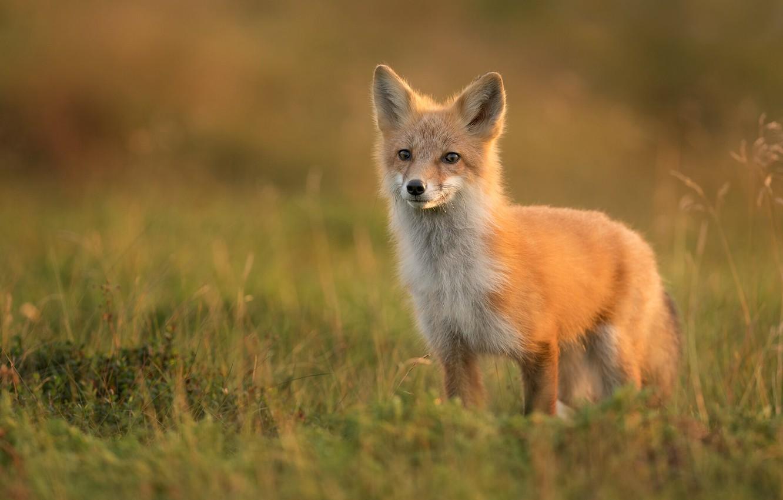Картинки степной лисы