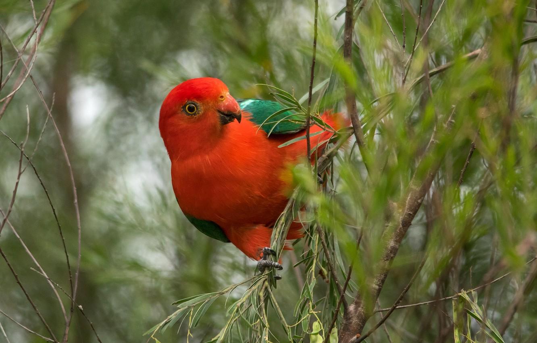 Фото обои ветки, красный, попугай