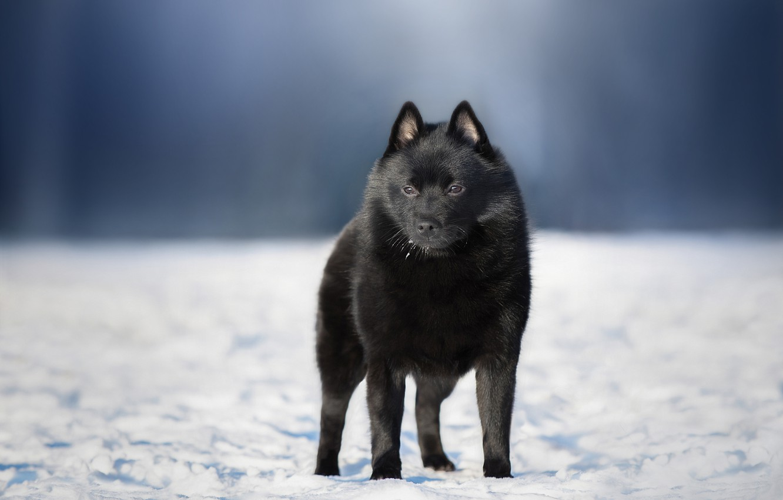 Фото обои зима, снег, природа, собака, пёс, Anna Oris, шипперке