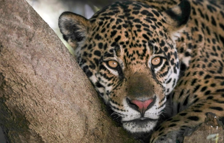 Обои дерево, морда, дикая кошка, Хищник, взгляд, Yaguar. Кошки foto 6