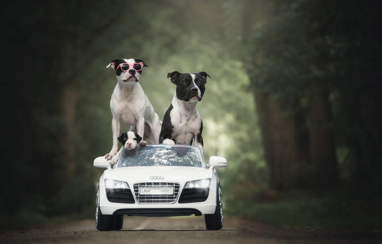 Фото обои дорога, машина, авто, собаки, лето, деревья, парк, ребенок, Ауди, малыш, семья, отец, очки, щенок, три, …
