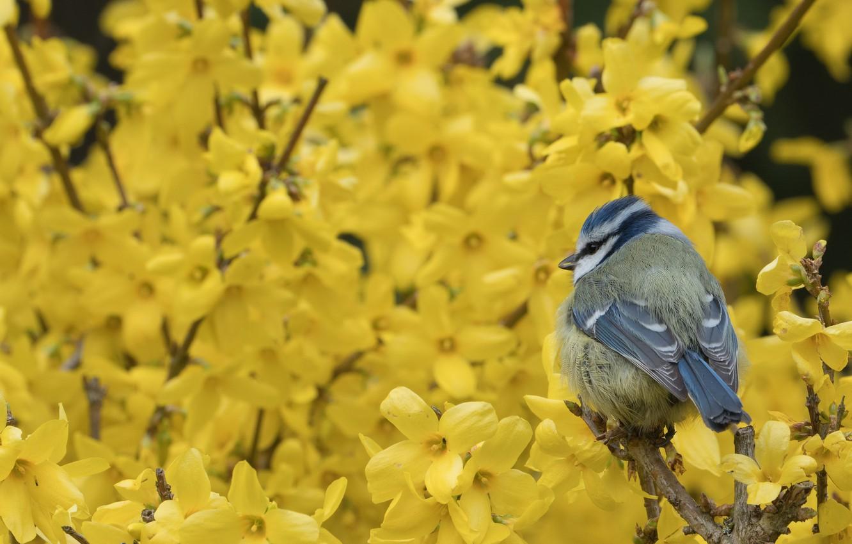 Фото обои цветы, птица, синица