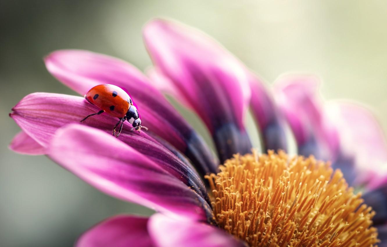 Фото обои цветок, макро, божья коровка, жук, лепестки