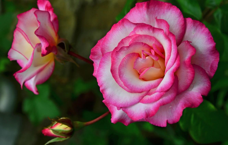 Фото обои листья, цветы, природа, розы, бутон