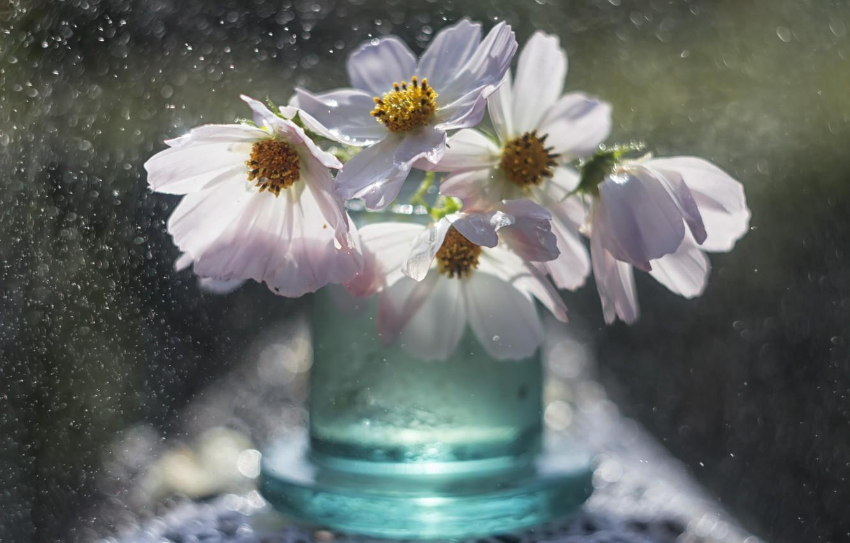 Фото обои макро, цветы, боке, баночка, космеи