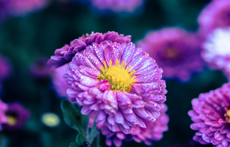 Фото обои капли, цветы, фон, сиреневые, астры