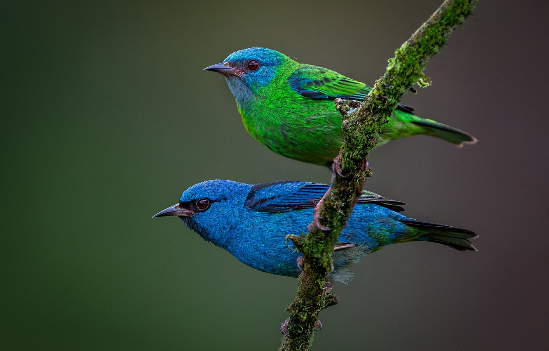 Фото обои птицы, фон, ветка, парочка, Синий дакнис