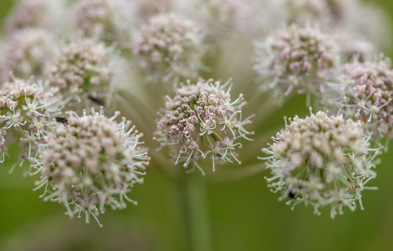 Фото обои цветок, макро, зонтичное, растение., Дягиль