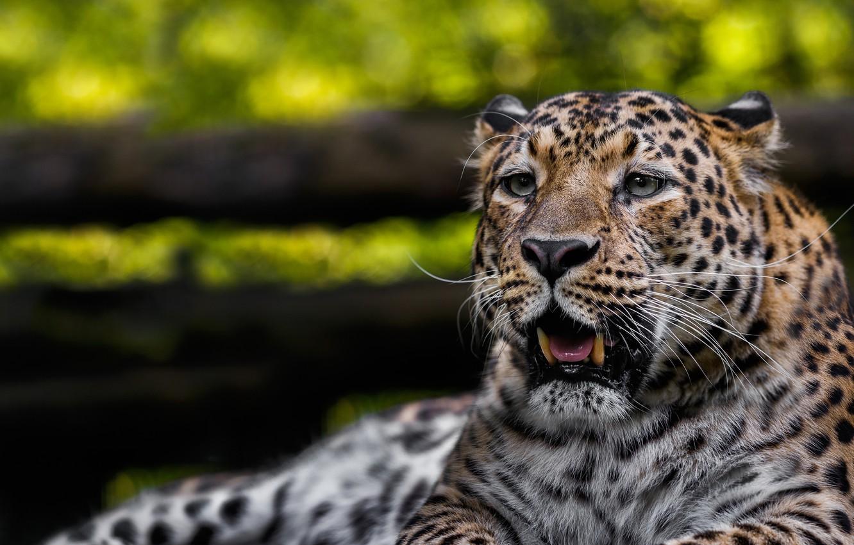 Фото обои морда, хищник, леопард, дикая кошка, боке, Олег Богданов