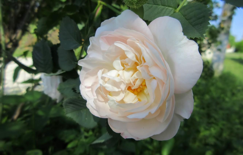 Фото обои цветы, роза, кремовая роза, весна 2018, Mamala ©