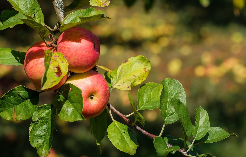 Картинки плодов яблони