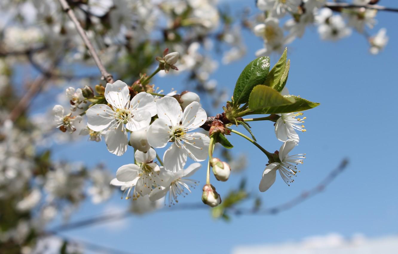 Фото обои цветы, тепло, весна, май, цветение, голубое небо