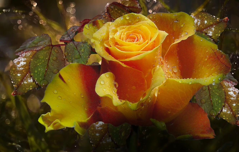 Фото обои капли, роса, роза, супер